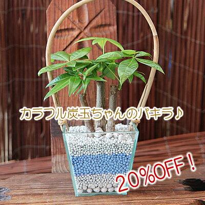パキラ 観葉植物 インテリア 20%OFF 炭で出来たカラー炭玉でハイドロカルチャー♪ラッピング...