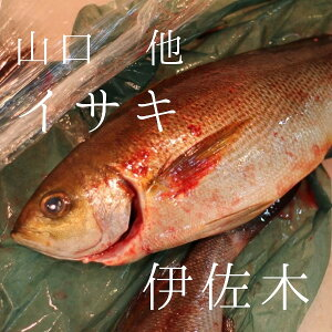 イサキ 山口産 他 約800g/1尾 豊洲直送 伊佐木 鮮魚【イサキ800g】 冷蔵