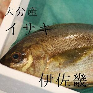 イサキ 約1kg/1尾 大分産 豊洲直送 伊佐木 鮮魚【高級イサキ1K】 冷蔵