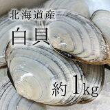 白貝 豊洲直送 北海道産 約1kg 約50-60g/1枚 シロガイ サラガイ バター焼き旨し!【白貝1K】 冷蔵