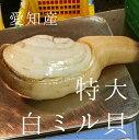 特大活け白ミル貝 愛知産 他 (約500g/個)x2個 計1kg ナミガイ 豊洲直送 高級貝...