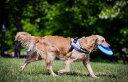 ASHUウェアハーネス ニットセット XLサイズ(中型犬用)|犬 ハーネス リード セット ウェア型ハーネス 中型犬 子犬 老犬 服型 ベスト型ハーネス 胴輪 簡単 かわいい ニット 柴犬 コッカー ビーグル フレンチブル コーギーアッシュ 洋服の上から