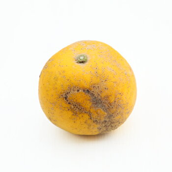 【加工ゴ15】加工用宇和島ゴールド15kg(サイズ無選別・傷・黒点・ヘタ枯れ・ヤケ・シワ等が含まれます。)(ジュース、ゼリー用です。)【愛媛県産】【送料無料】河内晩柑愛南ゴールド美生柑宇和ゴールドみかん柑橘
