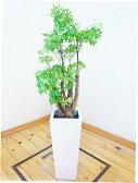 【送料無料】人気のロングスクエア陶器鉢仕立ての見事な朴タイワンモミジ/110cm前後(8号)