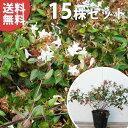 ■送料無料■【15本セット】 アベリア・ベーシック 樹高0....
