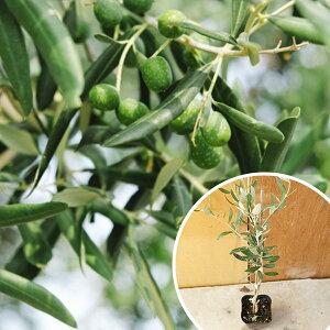 オリーブ 樹高0.3m前後 苗木 植木 苗 庭木 シンボルツリー『お得なセット販売もございます』オ...