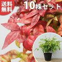 ■送料無料■【10本セット】 オタフクナンテン 樹高0.15