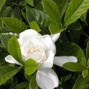 ヤエクチナシ 樹高0.4m前後 苗木 植木 苗 庭木 花を楽しむ木 花を楽しむ木:春に花を咲かせる植...