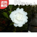 ■送料無料■【50本セット】 サザンカ(白花) 樹高0.2m...