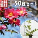 ■送料無料■【50本セット】 サザンカ 樹高0.5m前後 1...