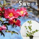 サザンカ 樹高0.3m前後 苗木 植木 苗 庭木 花を楽しむ木 花を楽しむ木\秋・冬に花を咲かせる植...