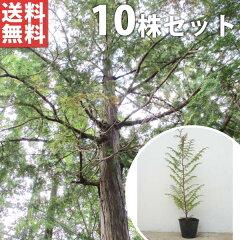レビューで500円引きキャンペーン中! ヒノキ 樹高0.5m前後 苗木 植木 苗 庭木 シンボルツリー ...