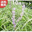 ■送料無料■【10ポットセット】 斑入りヤブラン 10.5c