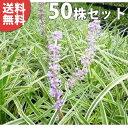 ■送料無料■【50ポットセット】 斑入りヤブラン 10.5c