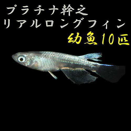 プレミアムメダカプラチナ幹之リアルロングフィン幼魚5匹メダカ生体めだか血統目高みゆきめだかみゆきメダカミユキメダカ幹之メダカme