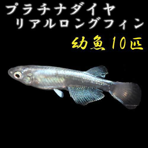 プレミアムメダカプラチナ星河リアルロングフィン幼魚5匹めだかメダカ生体血統目高みゆきめだかみゆきメダカミユキメダカ幹之メダカme