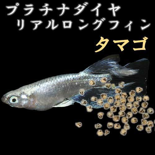 プレミアムメダカプラチナ星河リアルロングフィンタマゴ30粒中里氏血統めだか目高タマゴたまご卵繁殖水草産卵飼育メダカ種類綺麗生体新