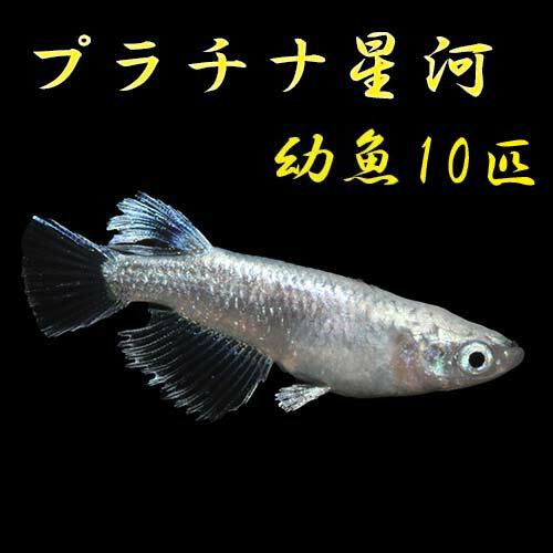 プレミアムメダカプラチナ星河幼魚10匹めだかメダカ生体種類血統目高みゆきめだかみゆきメダカミユキメダカ幹之メダカmedaka幹之