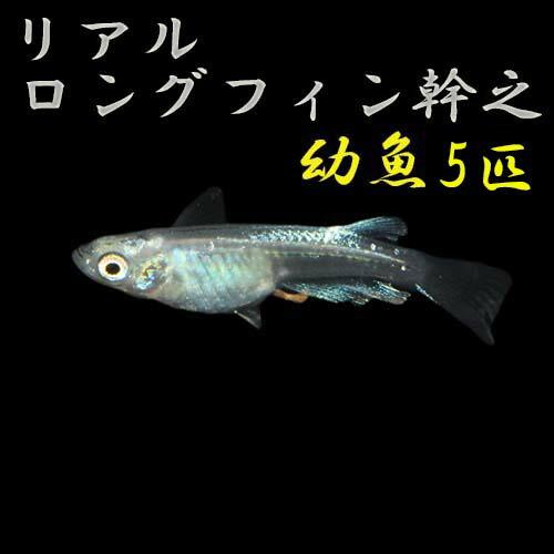 プレミアムメダカリアルロングフィン幹之幼魚5匹めだかメダカ生体種類血統目高みゆきめだかみゆきメダカミユキメダカ幹之メダカmeda