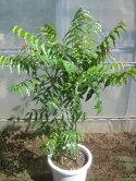 虫除けニームの木(3本株立ち)