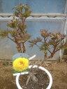 牡丹(黄冠)