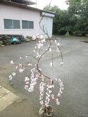 花もも(源平しだれ)