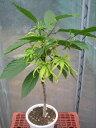 イランイランの木