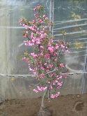 カイドウ桜
