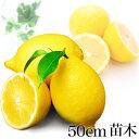 【 送料無料 】 果樹苗 レモン 苗木 苗 果樹 れもん 檸檬 レモンの木 送料込み ギフト アレンユーレカ 1年生