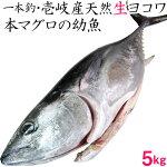 壱岐産天然ヨコワ5kg