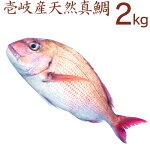 壱岐産天然真鯛の一本釣り。2kg。さらに。