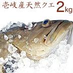 【K】【クエは夏も旬!裏旬クエ】壱岐 長崎の天然くえ。2キロ 九州では「アラ」関西では「クエ」東日本では「モロコ」と呼ばれる高級魚 九絵、垢穢ともよばれる希少な魚を一本釣り!送料込