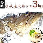 【K】壱岐産天然クエ3Kg九州では「アラ」、関西では「クエ」、東日本では「モロコ」と呼ばれる高級魚