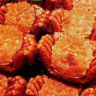毛ガニ北海道産極上最高ランクボイル済み天然毛蟹約550g×1尾