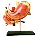 人体解剖模型 胃解剖モデル Human Anatomy Stomach & Other Organs