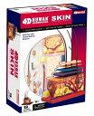 人体解剖模型 皮膚解剖モデル Human Anatomy Skin