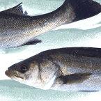 【産地直送】活〆。瀬戸内の天然鱸 スズキ 鮮魚 2kg(1尾)55cm前後