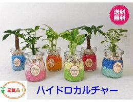 農園直送!◆ミニ観葉植物◆ハイドロカルチャー♪ツートンカラーサンド3個setすのこ付き!選べる植物&カラーサンド
