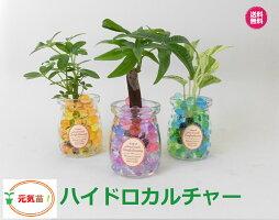 農園直送!◆ミニ観葉植物◆ハイドロカルチャー♪クリスタルゼリーマーブル3個setウッドスライス付き!選べる植物&ゼリーカラー
