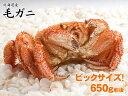 ボリューム満点!1尾約650gのビックサイズ毛ガニ!(北海道産)【毛がに・毛蟹・かに・カニ・蟹】