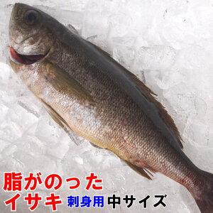 【刺身用】【イキ〆】山口県産イサキ中サイズ1尾 約350-400g期間限定販売