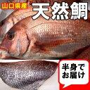 山口県産天然鯛半身(約1,2kg物)刺身2−3人前 - 山口県産海鮮広場 魚かつ