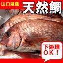 山口県産天然鯛1尾約1,5kg - 山口県産海鮮広場 魚かつ