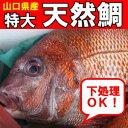 山口県産天然鯛1尾(約3kgUP物)刺身15人前 - 山口県産海鮮広場 魚かつ