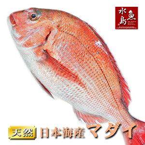 【送料無料】天然真鯛 マダイ 桜鯛 日本海産 3.0〜3.4キロ物