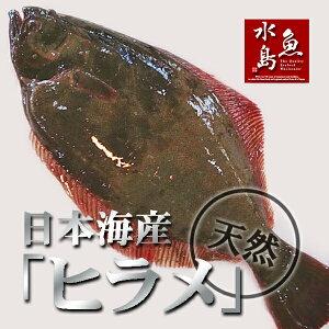 天然ヒラメ 平目 日本海産 2.5〜3.0キロ物