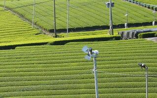 大容量徳用白折500g茎茶棒茶深蒸し茶茶葉日本茶お徳用