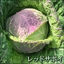 西洋野菜フランスのサボイ地方発祥の地レッドサボイキャベツ(別名:ちりめんキャベツ)