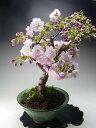 桜 盆栽 花芽付き!八重桜の鉢植え盆栽 2016春開花予定【送料無料】
