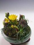 福寿草の鉢植え